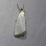 Snowy urola moth  (Urola nivalis), #5464