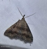 Black-banded owlet moth  (Phalaenostola larentioides), #8364