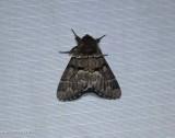 Eastern panthea moth   (Panthea furcilla),  #9182