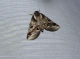 Doubleday's baileya moth  (Baileya doubledayi), #8969
