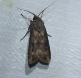 Dark-sword grass moth  (Agrotis ipsilon), #10663
