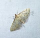 Hollow-spotted blepharomastix  (Blepharomastix ranalis), #5182