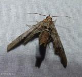 Dark marathyssa moth  (Marathyssa inficita), #8955