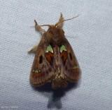 Spiny oak slug moth  (Euclea delphinii), #4697