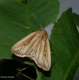 Two-lined wainscot moth (Leucania commoides), #10447