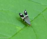 Moth  (Anacampsis tristrigella), #2251