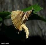 Grapevine looper moth (Eulithis diversilineata or gracilineata)