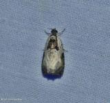 Malana leafroller (Olethreutes malana), #2820