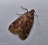 Grease moth (Aglossa cuprina), #5518