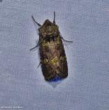 Bristly cutworm moth  ( Lacinipolia renigera), #10397