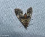 Waterlily leafcutter moth ( Elophila obliteralis), #4755