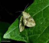 Exhausted brocade moth  (Neoligia exhausta), #9408
