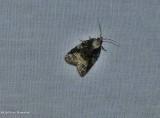 Exasperating platynota moth   (Platynota exasperatana), #3743