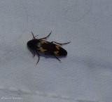 False darkling beetle (Dircaea liturata)