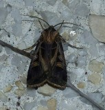 Dart moth (Feltia)