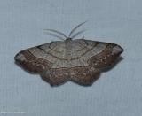 Brown-bordered geometer moth (Eumacaria madopata), #6272