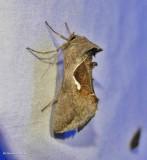 Celery looper moth   (Anagrapha falcifera), #8924
