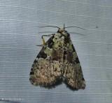 Marbled green leuconycta  (Leuconycta lepidula), #9066
