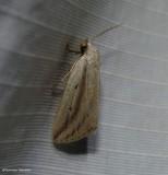 Feeble grass moth (Amolita fessa), #9818