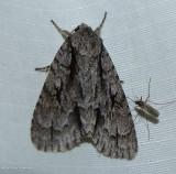 Lobelia dagger moth (Acronicta lobeliae), #9238