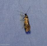 Reticulated decantha moth (Decantha boreasella), #1042