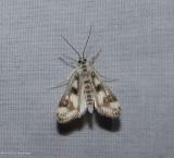 Polymorphic pondweed moth (Parapoynx maculalis), #4759