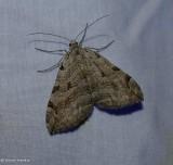 Treble-bar moth (Aplocera plagiata), #7627