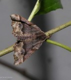 Hubner's pero moth  (Pero ancetaria), #6748