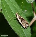 Bilobed dichomeris  (Dichomeris bilobella), #2291
