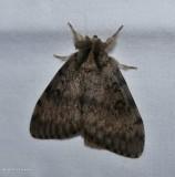 Gypsy moth   (Lymantria dispar), #8318