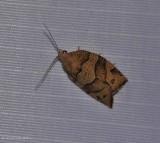 Woodgrain leafroller moth  (Pandemis lamprosana), #3593