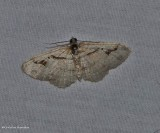 Bent-line carpet  moth (Costaconvexa centrostrigaria), #7416