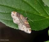 Red-twin-spot moth   (Xanthorhoe ferrugata), #7388