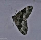 Sharp-angled carpet moth  (Euphyia intermediata), #7399