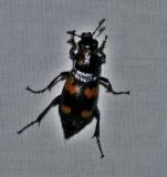 Round-neck sexton beetle  (Nicrophorus orbicollis)