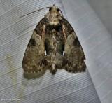 Cloaked marvel moth (Chytonix palliatricula), #9556