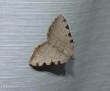 Four spotted speranza moth   (Speranza coortaria), #6299