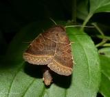 Rustic quaker moth  (Orthodes majuscula), #10585