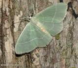 White-fringed emerald moth (Nemoria mimosaria), #7048