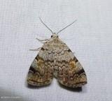 American idia moth  (Idia americalis), #8322