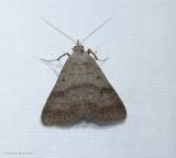 Bent-winged owlet moth (Bleptina caradrinalis), #8370