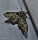 Pepper and salt  moth  (Biston betularia), #6640