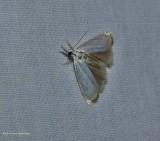 Small white grass veneer moth (Crambus albellus), #5361