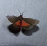 Joyful virbia moth  (irbia laeta), #8114