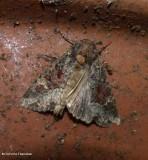 Yellow-headed cutworm moth  (Apamea amputatrix), #9348