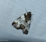 Tufted bird-dropping moth  (Cerma cerintha), #9062