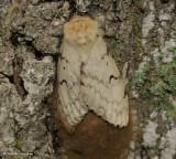 Gypsy moth, female  (Lymantria dispar), #8318