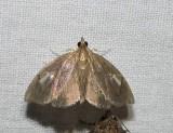 Titian peale's pyralid moth  (Perispasta caeculalis), #4951