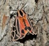 Parthenice tiger moth (Apantesis parthenice), #8196
