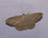 Soft-lined wave moth   (Scopula inductata), #7159